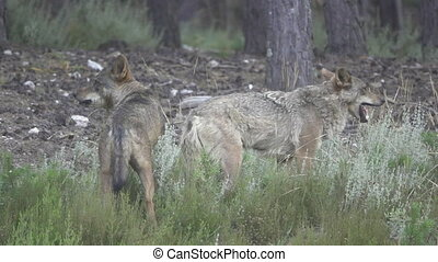 Slow motion of two wolfs eating - Side view of two wolfs...