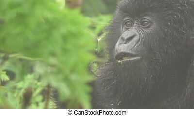 Gorilla eating in flat color - Closeup of mountain gorilla...