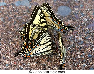 Tiger Swallowtails(Papilio glaucus) - Tiger Swallowtails...