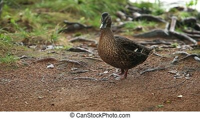 Duck on river bank - Mallard which stands on the river bank