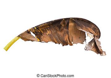 Dry banana leaf isolated on white background.