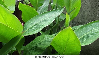 The large green leaves close-up small waves on a wind. Rain...