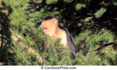 Little White-headed capuchin (Cebus capucinus) in the tree.