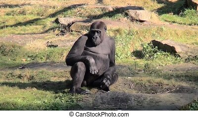 Gorilla plays with young. - Lowland Gorilla (Gorilla gorilla...