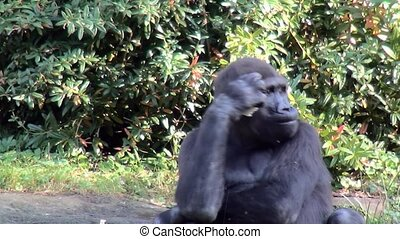 Close Up of a eating Gorilla. - Lowland Gorilla (Gorilla...