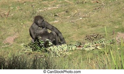 Gorilla plays with branches on the ground - Lowland Gorilla...