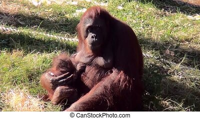 Orangutan (Pongo pygmaeus) sits in the sun with her young. -...