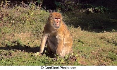 Barbary Macaque (Macaca sylvanus) in the sunset. - Barbary...