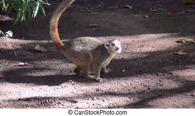 Crown Maki (Eulemur coronatus) looking for food on the...