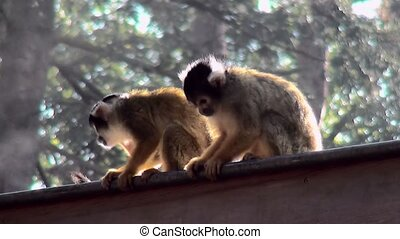 Bolivian deadhead monkeys in the morningmist on the roof. -...