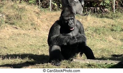 Leader of the Gorilla famely looks round. - Lowland Gorilla...