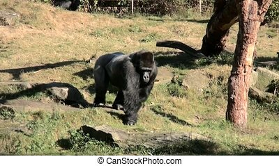 Walking leader of the Gorilla group. - Lowland Gorilla...