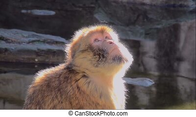 Barbary Macaque (Macaca sylvanus) on the rock.