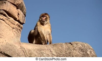 Barbary Macaque (Macaca sylvanus) on the rock. - Barbary...