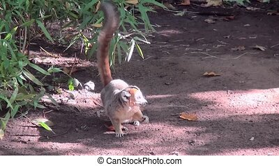 Crown Maki (Eulemur coronatus) near on the ground. - Crown...