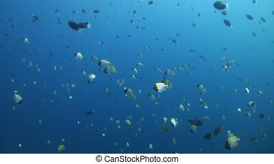 Shoal of Pyramid butterflyfish in blue water