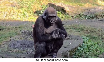 Thinking Gorilla on the stone. - Lowland Gorilla (Gorilla...