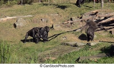 Playing group Gorillas. - Lowland Gorilla (Gorilla gorilla...