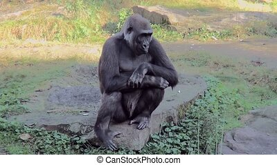 Waiting Gorilla in the park. - Lowland Gorilla (Gorilla...