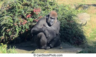 Gorilla teak food from the ground. - Lowland Gorilla...