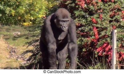 Walking Gorilla. - Lowland Gorilla (Gorilla gorilla gorilla)...