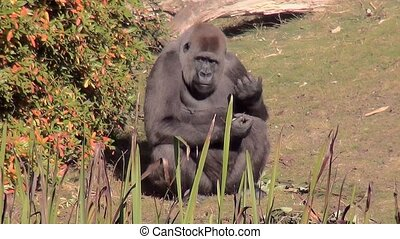 Eating Gorilla in the sun. - Lowland Gorilla (Gorilla...