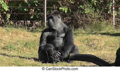 Leader of the Gorilla family looks around. - Lowland Gorilla...