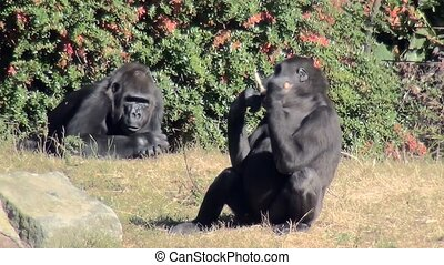 Two Gorilla eating fruit. - Lowland Gorilla (Gorilla gorilla...