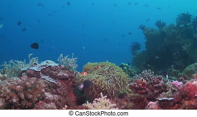 False Clown Anemonefish in a sea anemone