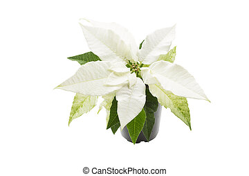 White poinsettia (Euphorbia pulcherrima) plant on white...