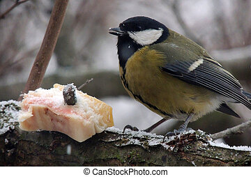 Titmouse on a tree eats the fat