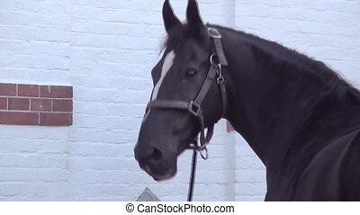 Head of the black horse. - Gelderlander and Groninger...