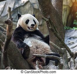 árbol,  panda, oso, Sentado