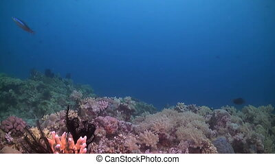 Colorful coral reef in Philippines with a school of...
