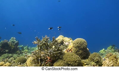 Colorful coral reef in Philippines, with Snapper and...