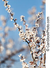 apricot flowers on the tree