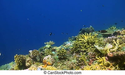 Colorful coral reef in Philippines, with Damselfishes