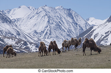 Herd of Bactrian spring in the mountains