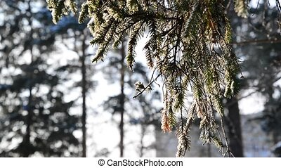 spruce twigs in winter backlit