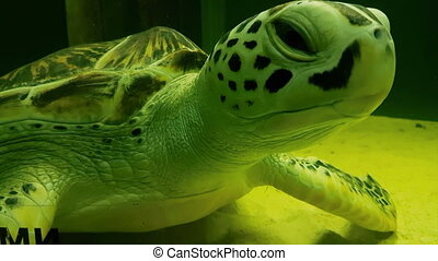 Sea turtle in Marine Aquarium. - Sea turtle in beautifully...