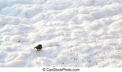 titmice eating sunflower seeds on snow - A titmice eating...