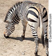 シマウマ, 動物園