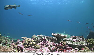 Colorful coral reef in Philippines. Healthy hard corals with...