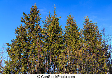 The tops of the fir trees on a background of blue sky