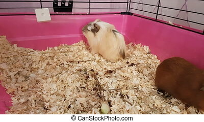 Guinea pigs happily running and jumping in cage stock...
