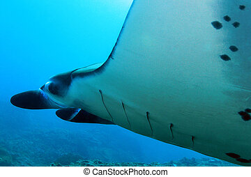 Manta Ray - Close-up of a Manta Ray (Manta Birostris) at...