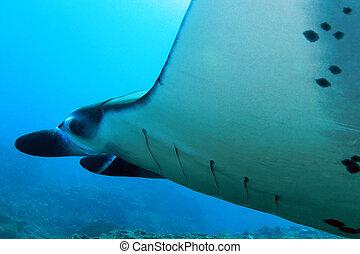 Manta Ray - Close-up of a Manta Ray (Manta Birostris) at...