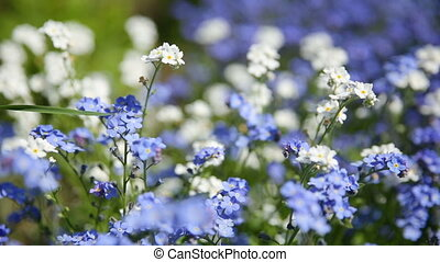 Forget-me-not flowers. Natural summer background.