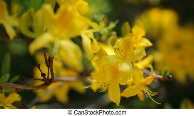 Rhododendron luteum Ericaceae . Bright flowers on green...