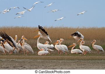 white pelicans (pelecanus onocrotalus) in Danube Delta,...